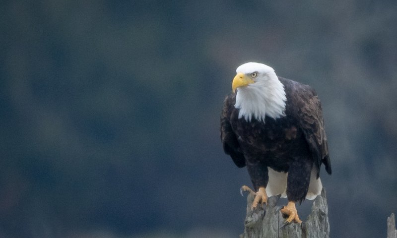 bald eagle bird watching